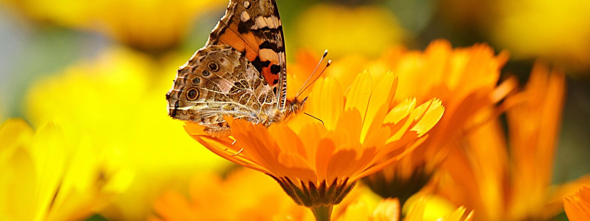 A butterfly perched on a yellow flower in a field of golden yellow flowers