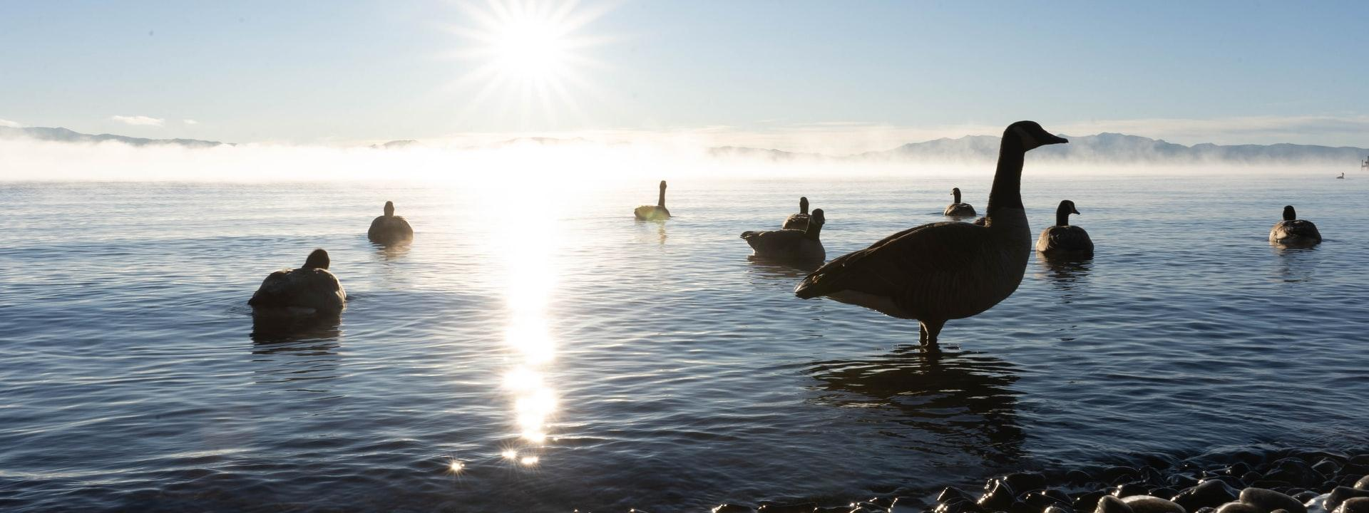 Geese in the water with the sun shining on the horizon