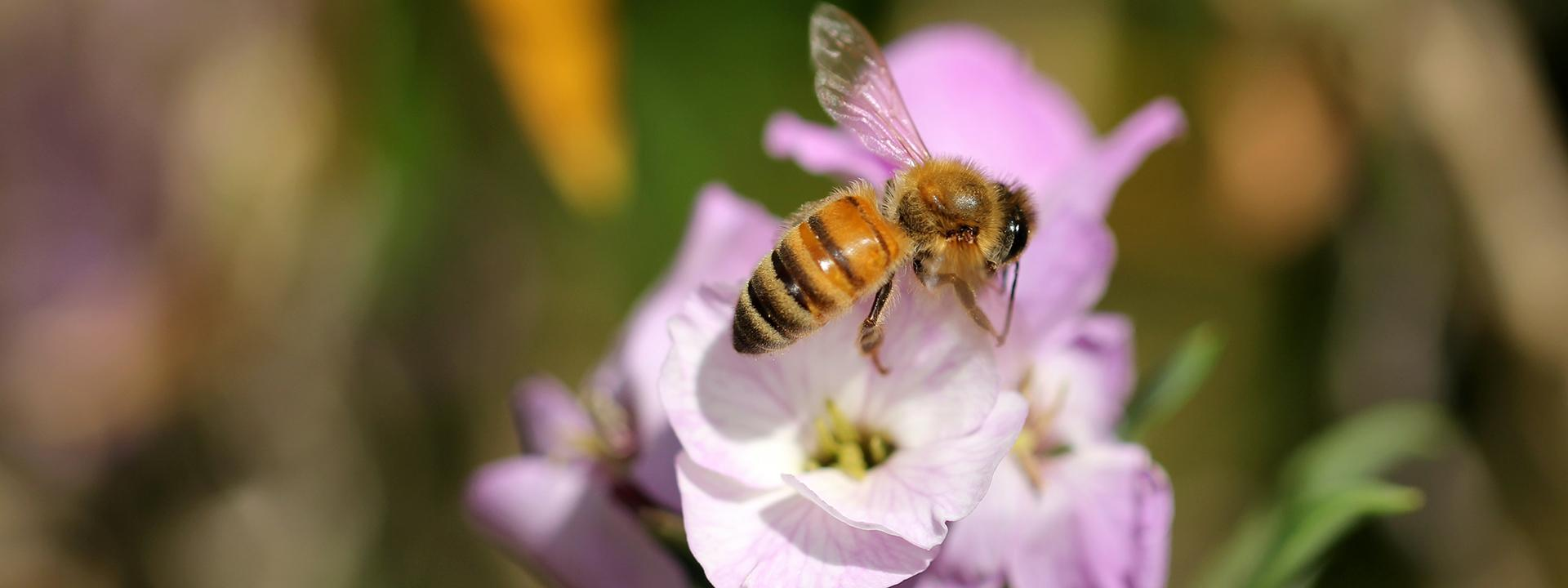 A honey bee on top of a lavender colored flower